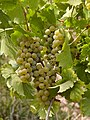 Mosel white grapes.jpg
