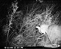 Mountain lion with deer kill (788ae20b-c20d-4056-aa09-faa64bdc7dc4).jpg