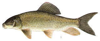 Silver redhorse species of fish