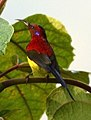 Mrs. Gould's Sunbird Aethopyga gouldiae Male by Dr. Raju Kasambe DSC 1567 (12).jpg