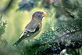 Ms. Evening Grosbeak.jpg