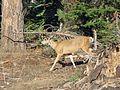 Mule Deer at Sequoia National Park - Flickr - GregTheBusker.jpg