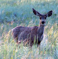 Mule Deer in Bryce Canyon.jpg