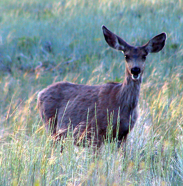 File:Mule Deer in Bryce Canyon.jpg