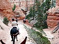 Mule Ride, Bryce Canyon (5881582291).jpg