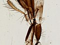 Muscidae (YPM IZ 098907).jpeg