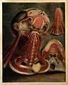 Muscles of the neck, tongue and jaws. Colour mezzotint by J. Wellcome V0007814.jpg