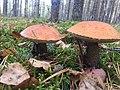 Mushrooms in Leningrad region.jpg