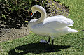 Mute Swan (13869195365).jpg