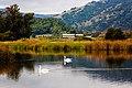 Mute swan (30847890724).jpg