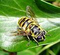 Myathropa florea. Syrphidae - Flickr - gailhampshire.jpg