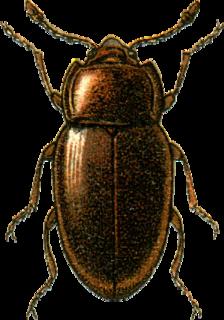 Mycetaeidae family of insects