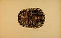 N226 Sowerby & Lear 1872 (pelomedusa subrufa).jpg