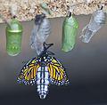 Nacimiento de una mariposa monarca (Danaus plexippus), Mariposario de Icod de los Vinos, Tenerife, España, 2012-12-13, DD 09.jpg