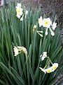 Narcissus tazetta 2c.JPG