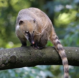 South American coati - Image: Nasenbaer Nasua nasua Zoo Augsburg 04