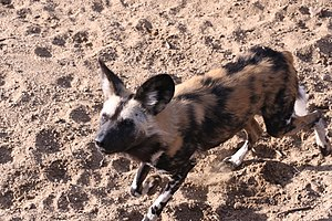 Wildlife of Algeria - The African wild dogs' presence in Algeria is unconfirmed.