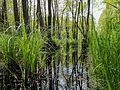 Nationalpark Vorpommersche Boddenlandschaft Darßer Urwald 1 DE-MV.jpg