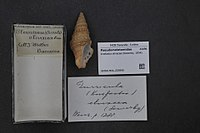 Naturalis Biodiversity Center - RMNH.MOL.225890 - Knefastia olivacea (Sowerby, 1834) - Pseudomelatomidae - Mollusc shell.jpeg