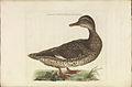 Nederlandsche vogelen (KB) - Anas strepera (316b).jpg