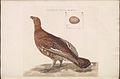Nederlandsche vogelen (KB) - Lyrurus tetrix (166b).jpg
