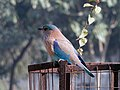 Neelkanth - Indian roller on the park fence.JPG