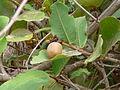 Neocarya macrophylla 0002.jpg