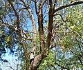Nest entrance Melanerpes cactorum.jpg