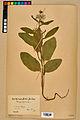 Neuchâtel Herbarium - Borago officinalis - NEU000020581.jpg