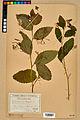 Neuchâtel Herbarium - Impatiens noli-tangere - NEU000019952.jpg