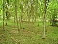 New woodland - geograph.org.uk - 244187.jpg