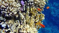 Nice corals at Sharm El Naga beach.jpg