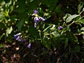 Nilgirianthus reticulatus (Stapf) Bremek. (15398842721).jpg
