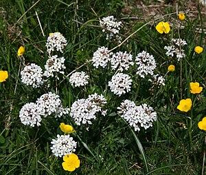 Kreuzblutler Wikipedia 6