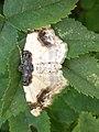 Noordwijk - Aangebrande spanner (Ligdia adustata).jpg