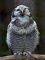 Northern Hawk Owl (6021865603).jpg