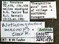 Nothomyrmecia macrops casent0003155 label 1.jpg
