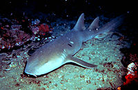 Nurse shark (enhanced).jpg
