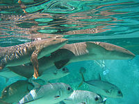 Nurse sharks-Horse Eye Jack.jpg