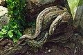 Nyíregyháza Zoo - Python molurus bivittatus.jpg