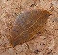 Oak Hook-tip. Watsonalla binaria - Flickr - gailhampshire (2).jpg