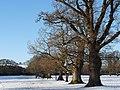 Oak trees in winter, Tredegar House Country Park - geograph.org.uk - 1653751.jpg