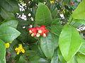 Ochna serrulata Penang Dec 2006 002.jpg