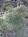 Octoblepharum albidum — Scott Zona 004.jpg