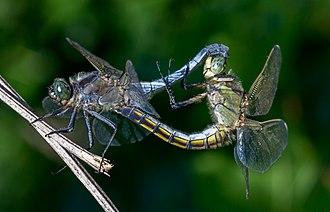 Animal - Sexual reproduction is nearly universal in animals, such as these dragonflies.