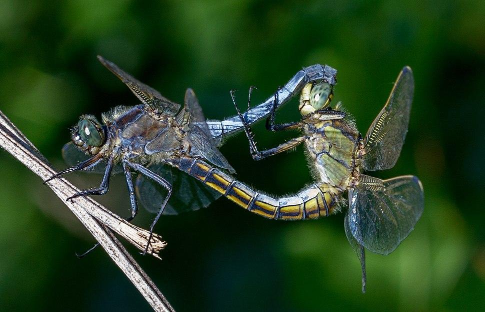Odonata copulation