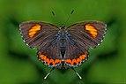 Open wing position of Male Heliophorus epicles Godart, 1823 – Purple Sapphire WLB DSC 3911u.jpg