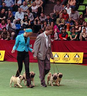 Professional handler - Gaiting pugs