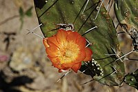 Opuntia quimilo.jpg