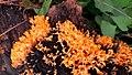 Orange Colour Mushroom 1.jpg